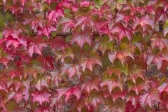 Virginia Creeper in autumn Royalty Free Stock Photos