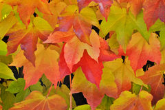 Virginia creeper in autumn colors Royalty Free Stock Photo