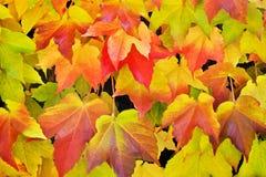 Virginia creeper in autumn colors Royalty Free Stock Photos