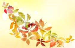 Virginia creeper autumn Royalty Free Stock Image