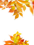Virginia creeper autumn Stock Photography