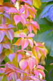 Virginia creeper in autumn, parthenocissus Stock Images