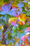 Virginia creeper in autumn, parthenocissus Stock Photography
