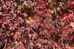 Virginia creeper in autumn. Stock Image