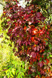 Virginia creeper, autumn wild grapes Royalty Free Stock Images