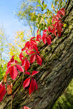 Virginia creeper, autumn wild grapes Stock Image