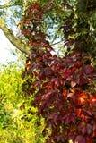 Virginia creeper, autumn wild grapes Royalty Free Stock Photography