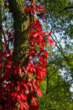 Virginia creeper, autumn wild grapes Stock Photo