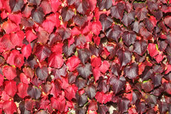 Virginia Creeper background Royalty Free Stock Photos