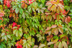 Virginia creeper backgrounds Royalty Free Stock Images