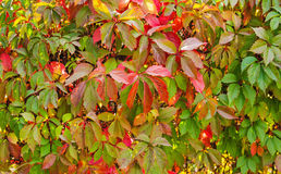 Virginia creeper backgrounds Stock Photos