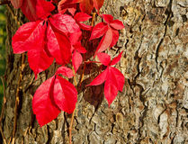Virginia creeper. Royalty Free Stock Photos