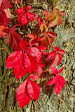 Virginia creeper. Stock Photos