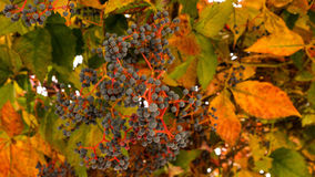 Virginia Creeper with berries Royalty Free Stock Images