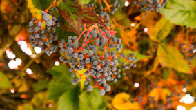 Virginia Creeper with berries Royalty Free Stock Image