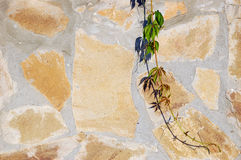 Virginia creeper branch against a wall Royalty Free Stock Photos