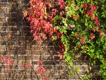 Virginia Creeper on a brick wall. Climbing plant Virginia Creeper growing up a brick wall in the autumn / fall, when the leaves are beginning to turn red and Royalty Free Stock Photography