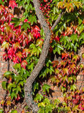 Virginia Creeper Climbing Vine Stock Images