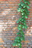 Virginia creeper Royalty Free Stock Image