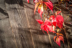 Virginia creeper Stock Photography
