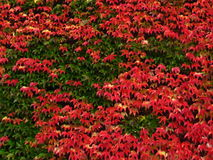 Virginia creeper covered wall as background. Red and orange virginia creeper as background Royalty Free Stock Images