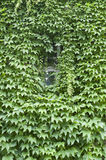 Virginia creeper covered wall with window Royalty Free Stock Photo