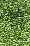 Virginia creeper covered wall with window Stock Image