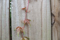 Virginia creeper on fence. Parthenocissus quinquefolia, also known as Virginia creeper, Victoria creeper, five-leaved ivy, or five-finger belongs to Vitaceae Royalty Free Stock Photos