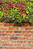Virginia Creeper. Creeper garden in autumn at sunset Stock Images