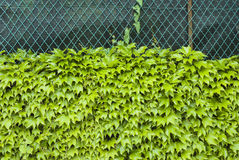 Virginia creeper, boston ivy, parthenocissus Royalty Free Stock Photo