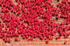 Virginia Creeper Growing op Rode Bakstenen muur stock fotografie