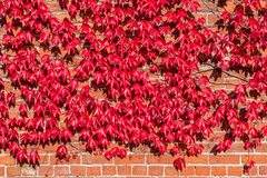 Virginia Creeper Growing on Red Brick Wall Stock Photography