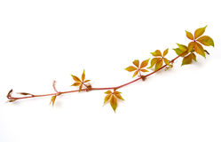 Virginia Creeper Isolated Stock Image