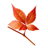 Virginia Creeper leaf Stock Photo