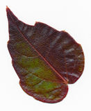 Virginia Creeper leaf Royalty Free Stock Image