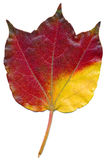 Virginia Creeper leaf Royalty Free Stock Photography