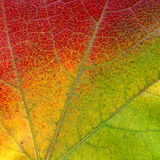 Virginia Creeper leaf Stock Photography