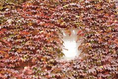 Virginia creeper leafs Stock Image