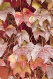 Virginia creeper leaves Royalty Free Stock Image
