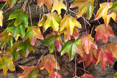 Virginia creeper leaves change colour in autumn Stock Images