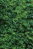 Virginia Creeper Leaves nova, textura verde molhada fresca vertical da folha, teste padrão do fundo do dia de verão, grande hera  Imagens de Stock