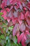 Virginia Creeper Leaves Turning Green al rojo Fotos de archivo libres de regalías