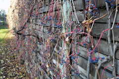 Virginia creeper on noise barrier. Royalty Free Stock Images