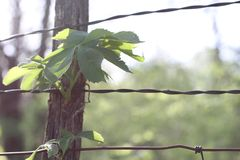 Virginia Creeper op Fencepost Stock Afbeelding