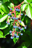 Virginia creeper (Parthenocissus quinquefolia). Colorful and crisp image of virginia creeper (Parthenocissus quinquefolia Royalty Free Stock Photography