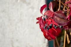 Free Virginia Creeper, Parthenocissus Quinquefolia. Copy Space Royalty Free Stock Images - 164005829