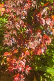 Virginia Creeper Parthenocissus quinquefolia. Red autumn leaves of the Virginia Creeper Parthenocissus quinquefolia Royalty Free Stock Photo