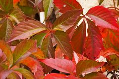 Virginia Creeper Parthenocissus quinquefolia. Red autumn leaves of the Virginia Creeper Parthenocissus quinquefolia Stock Photos