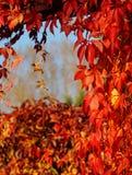 Virginia Creeper, Parthenocissus quinquefolia - wild grape Royalty Free Stock Photos