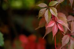 Virginia creeper, Parthenocissus quinquefolia or wild grapes lea. Ves. Autumn, nature, gardening background Stock Photos